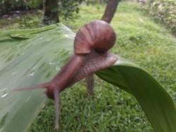 Kodagu People Afraid Of Conch Worm In Monsoon