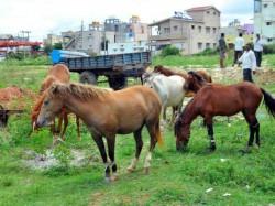 Farmers Suffering From Horses In Tamlapura Hassan