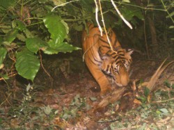Panic Spreads After Tiger Caught On Cam In Mudigere