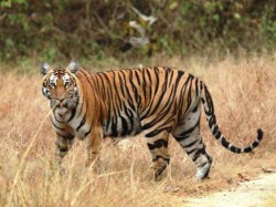 In Search Of The Majestic Tiger In Bandipur Forest