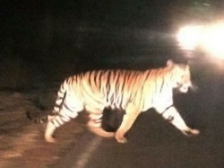 Tiger Spotted Near Chandapura Forest