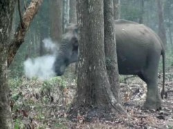 Video Goes Viral While Elephant Smokes It Is True