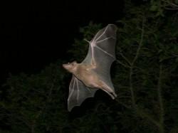 Bat Hunting Festival In Kerala
