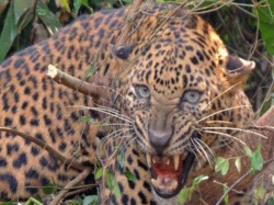Cheetahs Attacking Is Constantly Going On In Ramanagar