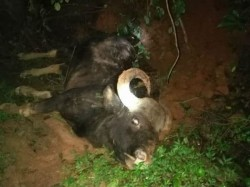 Wild Buffalo Falls From Hill Dies In Hosanagara