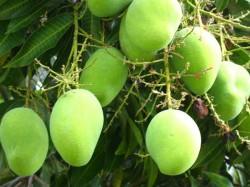 Woman Dies When She Plucking Mangoes In Hanumathnagar