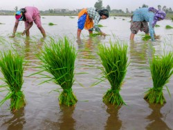 Good Rain In Kodagu Agriculture Activities Resume