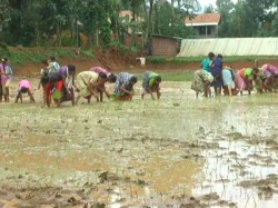 Interesting Story Of Paddy Cultivation In Puttur