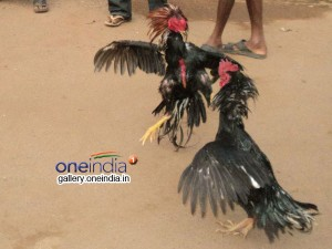 Hyderabad High Court Ordered To Stop Cock Fight