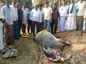 4 Cattle Died Due Food Poisoning At Madanayakanahalli Village Mandya