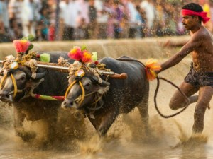 Kambala Committee Planned Stir In Mangaluru Against Ban On The Traditional Sport