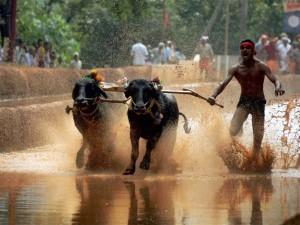 Karnataka Political Leaders Who Said What About Kambala