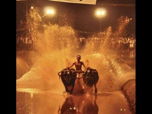 What Is Kambala Why It Is Significant For Karnataka