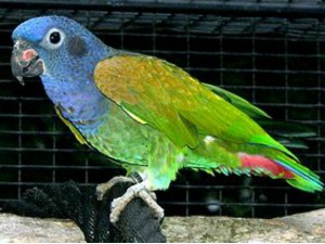 A Rare Blue Headed Parrot Detained In Udupi