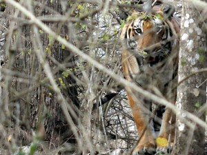 Prince Tiger Cited In Bandipur Forest