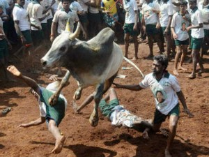 Jallikattu Is Not Just Game It Is Tradition