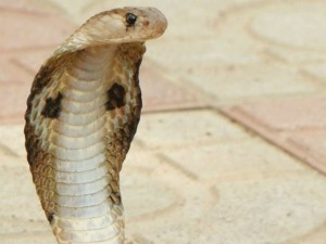 Snake Expert Who Saved Many Lives From Serpents Dies Of Snakebite At Karkala