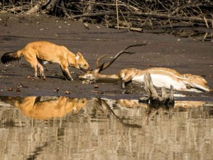 Hunting Style Life And Physique Of Wild Dogs