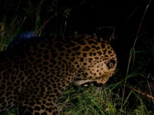 Kalghatagi People Get Panic After Cheetah Visits The Village
