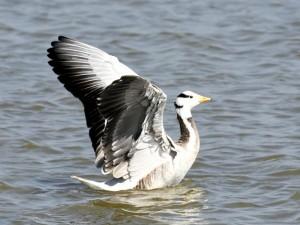 Mongolia Miratory Birds In Mysuru Lake