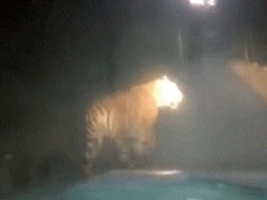 Truth Revealed Viral Tiger Video In Kundapur Is Old One