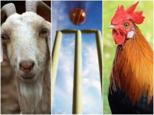 Maharashtra Cricket Tourney S Quirky Prizes Goat For Champions Egg For Big Hitters