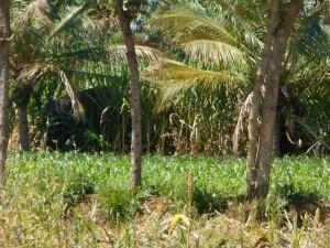 Wild Elephant Threat To Sugarcane Growers In Mandya