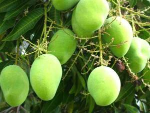Karntaka May Export 10 Thousand Tonnes Of Mangoes