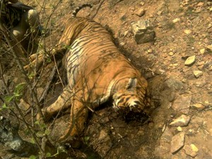 Celebrity Tiger Prince S Death Becoming Detective Story