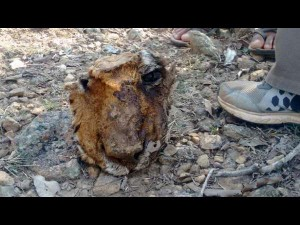 Prince Face Found Bandipur Tiger S Death Controversy Triggers Again