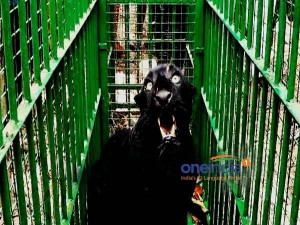 The Black Leopard Rescued After Falling Into Well At Hirgana
