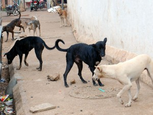 Stray Dogs And Cattle Create Problem For People In Hubballi