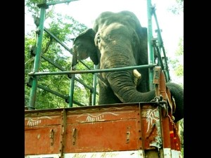 Kodagu S Mischievous Elephant Sent To Bandipur