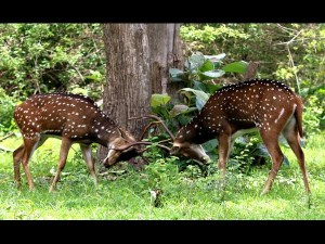 The Game Of Deer In Bandipur National Park