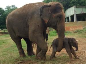 Elephant Airavati Gives Birth To Parvathi In Mysuru Zoo