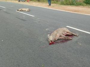 Two Wild Pigs Dead As Fall Into The Ambulance In Gundlupet