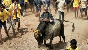 ತಮಿಳುನಾಡಲ್ಲಿ ಪೊಂಗಲ್: ಜಲ್ಲಿಕಟ್ಟು ಸ್ಪರ್ಧೆಗೆ 2,100 ಹೋರಿಗಳು ಸಜ್ಜು