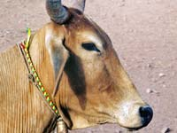 Punyakoti, The Magnanimous Cow