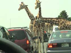 Giraffes stop vehicles for bribe ?