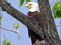 True story of bald eagles in Washington